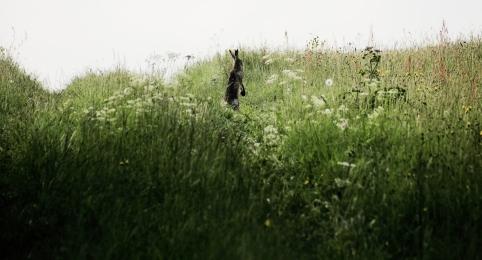 Haas // Hare