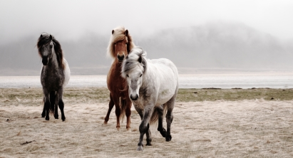 IJslandse Paarden // Icelandic Horses