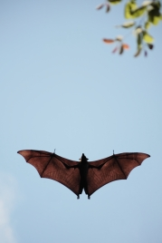 Indian Flying Fox (Pteropus giganteus leucocephalus), Sri Lanka