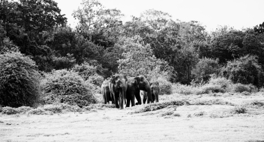 Elephants coming out of the Jungle, Minneriya National Park, Sri Lanka