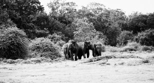 Elephants coming out of the Jungle, Minneriya National Park, Sri Lanka