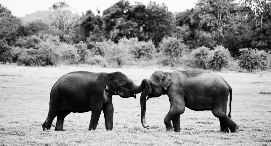 Adolescent Male Elephants, Minneriya National Park, Sri Lanka